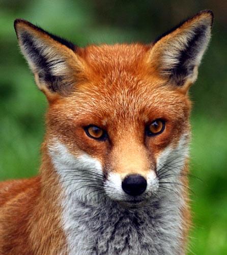 Fox 3 by P181