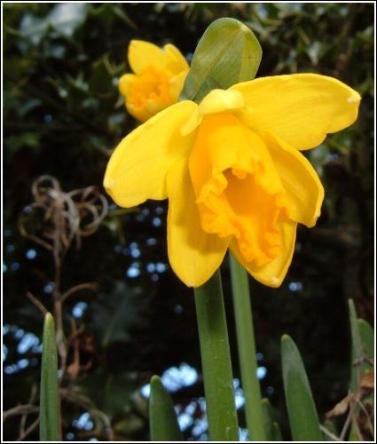 Giant Daffodil by JonJ