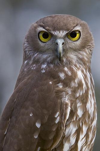 Barking Owl by melbrackstone