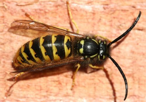 wasp by jsabmsc