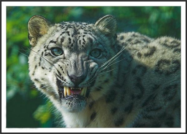 Snow Leopard by ReidFJR