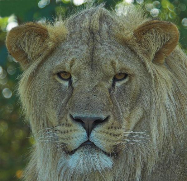 Lion King by ReidFJR