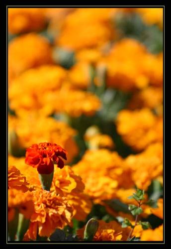 Marigold by DebnIan