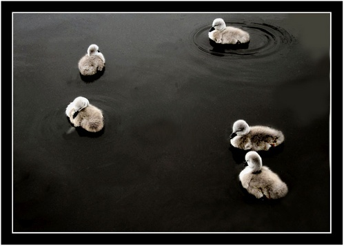 Cygnet Committee by fredthegnome