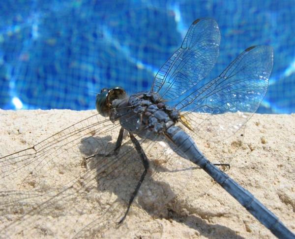 Dragonfly Siesta by GavMc