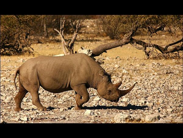 Black Rhino by proberts