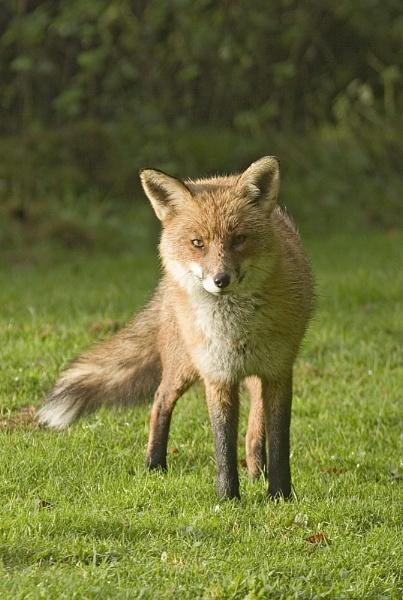 Fox by Dennis.Alden
