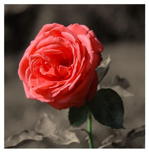 Rose by patrickfarrell