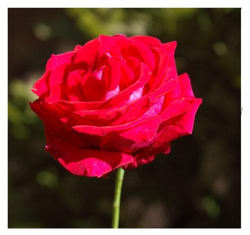Rose #2 by patrickfarrell