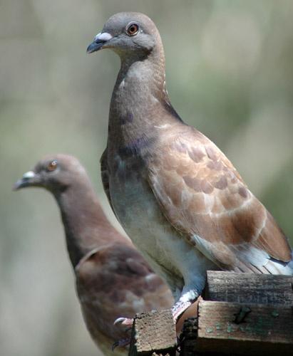 Pigeons by patrickfarrell