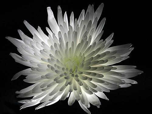 White Flower by RichardB
