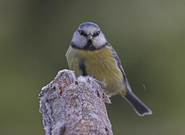 Blue Tit by John_Wannop