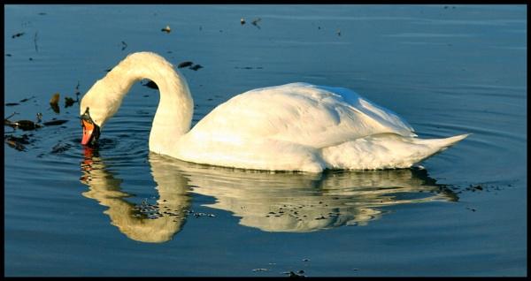 Swan 2 by ScottRobertson