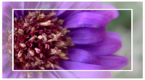 Purple by lollydeakins