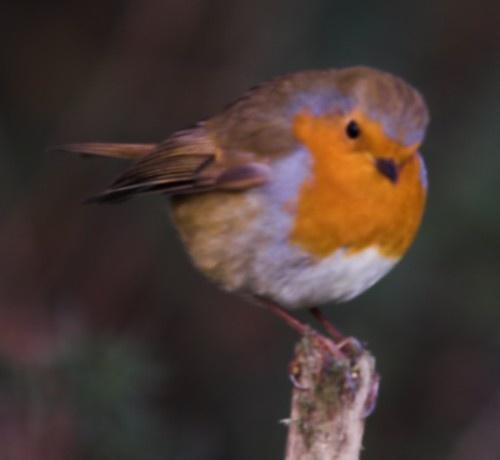 Malvern the Robin by davidjenkins