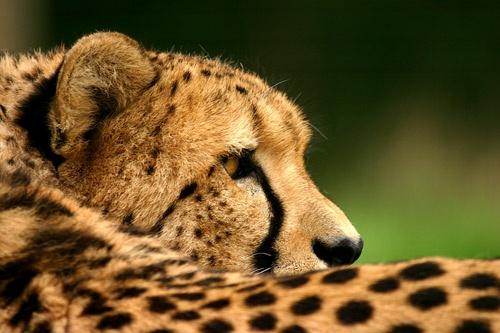 Cheetah 2 by P181