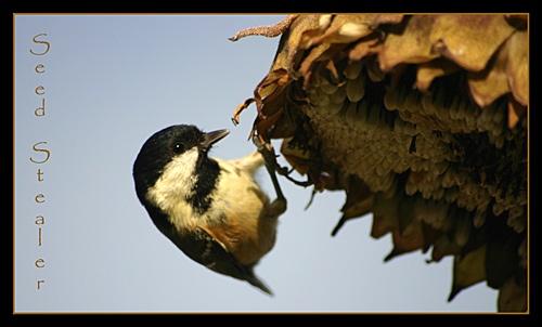 Seed Stealer by jimbocarroll