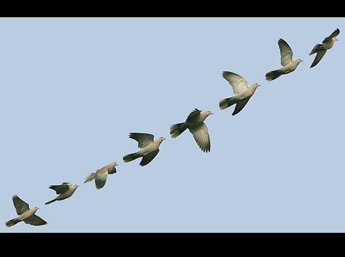 Dove in Flight by gemm