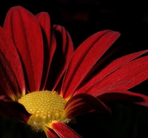 Chrysanthemum II by gemm