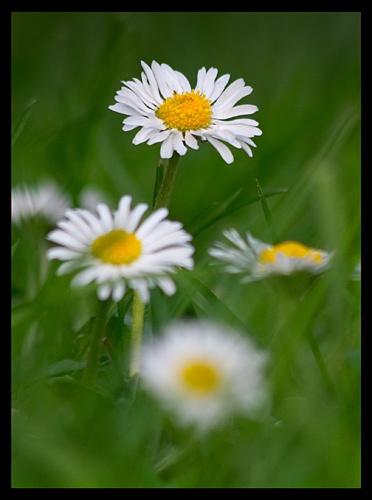 Daisy by swfh