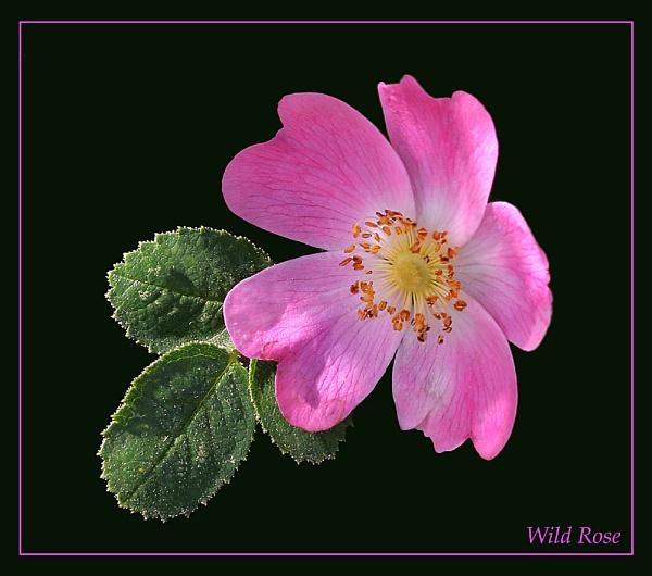 Wild Rose by JohnoP