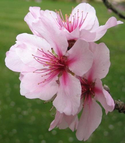 Peach blossom. by Nigel_NZ