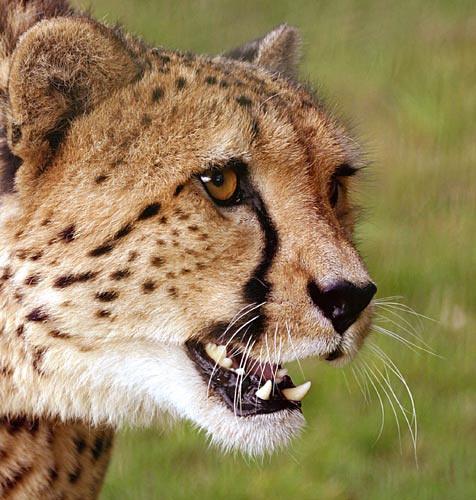 Cheetah 5 by P181