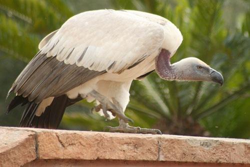 Cape Griffon Vulture by leons_photos