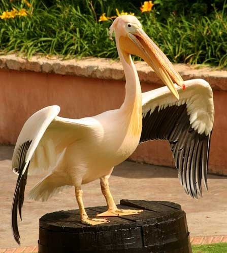 Eastern White Pelican by leons_photos