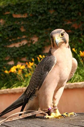 Sparrowhawk by leons_photos