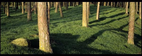 Pine Trees, Ceres, Fife by Camairish
