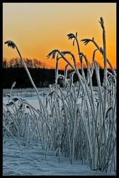 Frosty reeds...