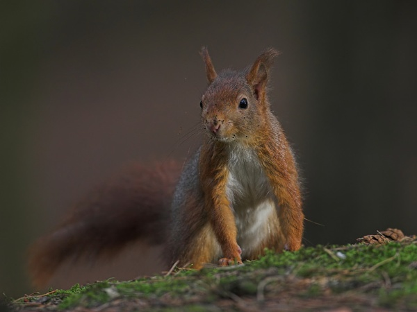 Red Squirrel by John_Wannop