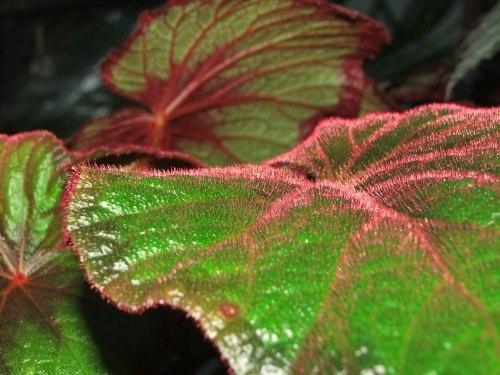 Hairy Begonia by drewjr