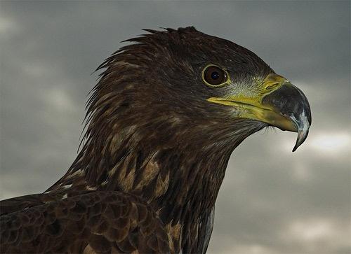 Sky the Sea Eagle by ReidFJR