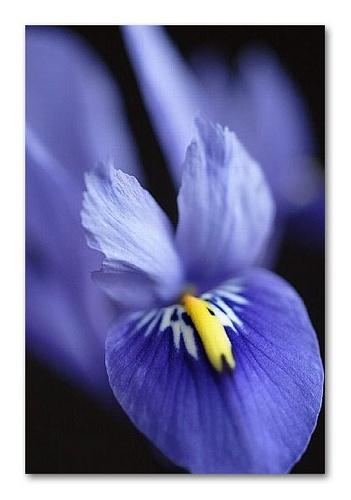iris by hebdens