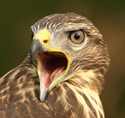 Common Buzzard by P181