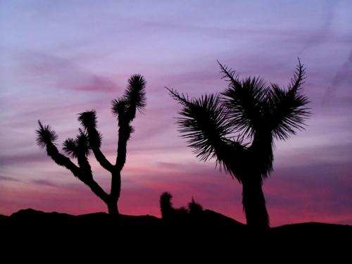 Joshua tree sunset by MattB