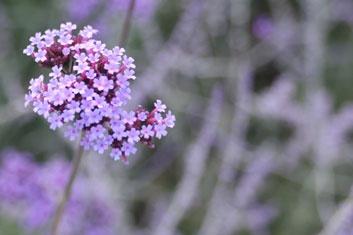 pretty purple flowers by sairyfairy