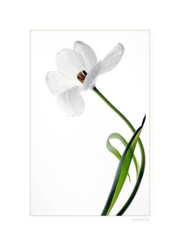 Tulip - past its best by janehewitt
