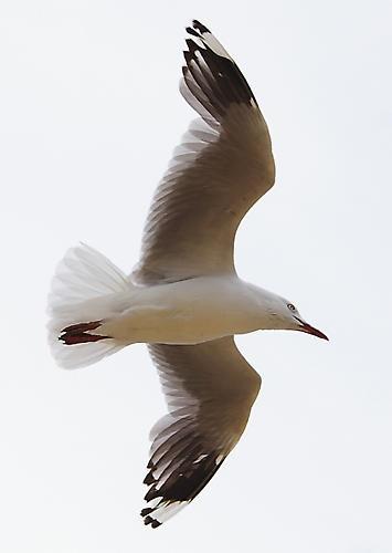 Seagull Flyby by bigredtim