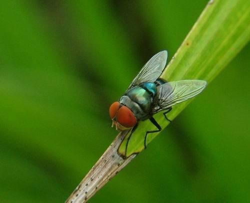 Fruitfly by sasam