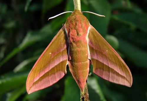 Elephant Hawk Moth by fishiee