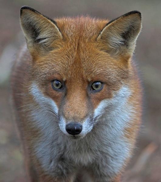 Fox by John_Wannop