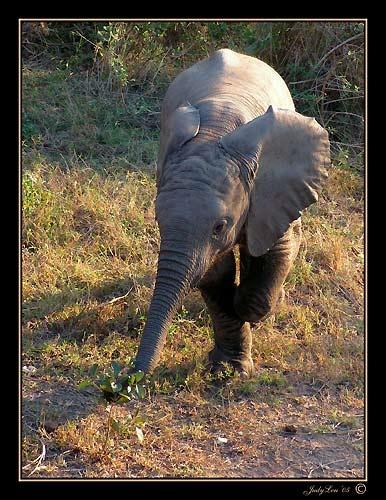 Baby Elephant Walk by LourensdB