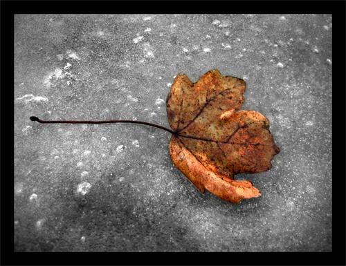 Frozen Leaf by NigelAndrew