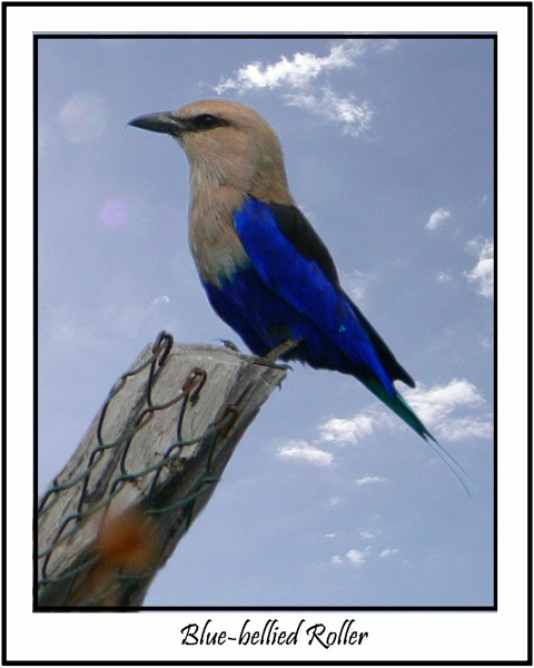 Blue-bellied roller by MikeRC