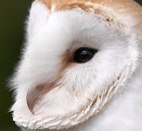Barn Owl by fishiee