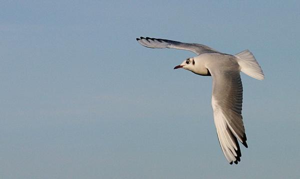 Gull by Saxon Marsh