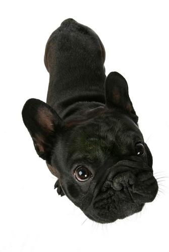 French Bulldog by jcaslin